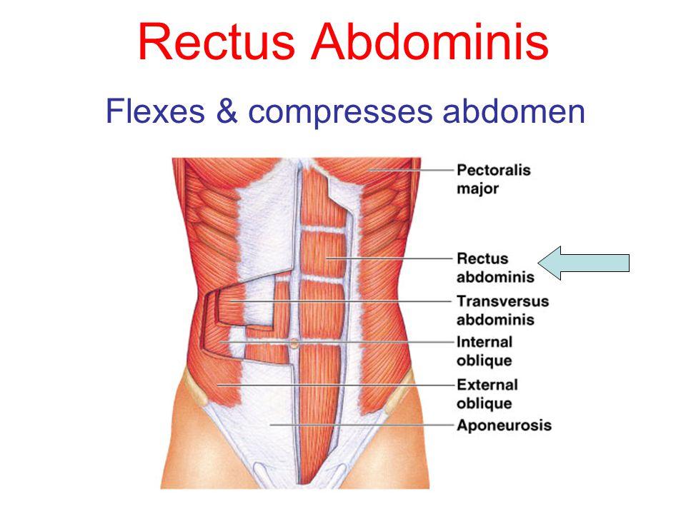 Rectus Abdominis Flexes & compresses abdomen
