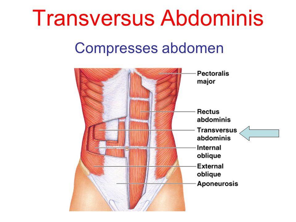 Transversus Abdominis Compresses abdomen