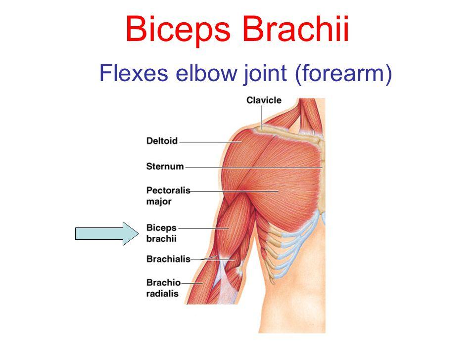 Biceps Brachii Flexes elbow joint (forearm)