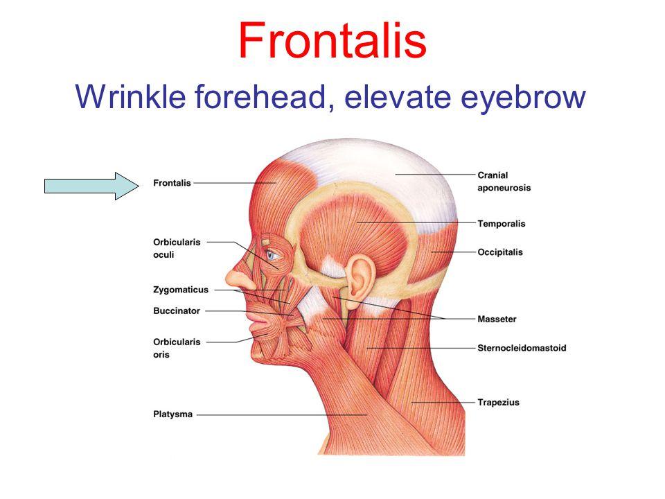 Frontalis Wrinkle forehead, elevate eyebrow