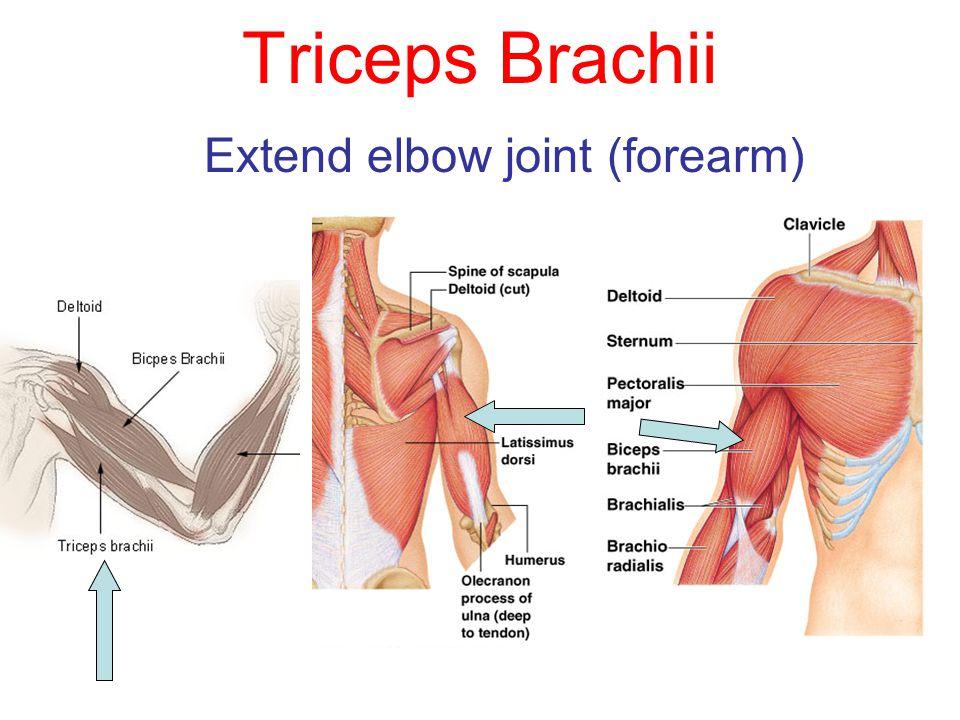 Triceps Brachii Extend elbow joint (forearm)