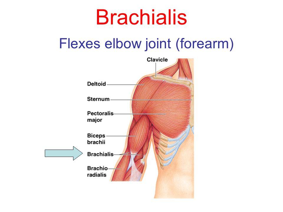 Brachialis Flexes elbow joint (forearm)
