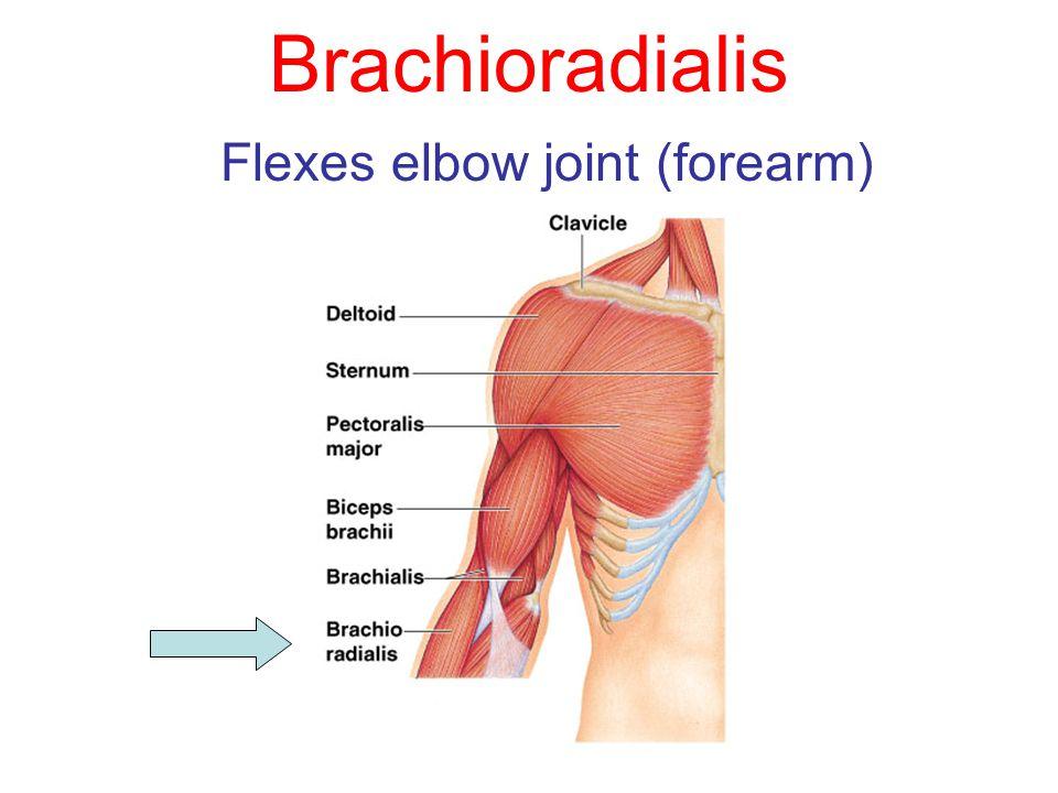 Brachioradialis Flexes elbow joint (forearm)