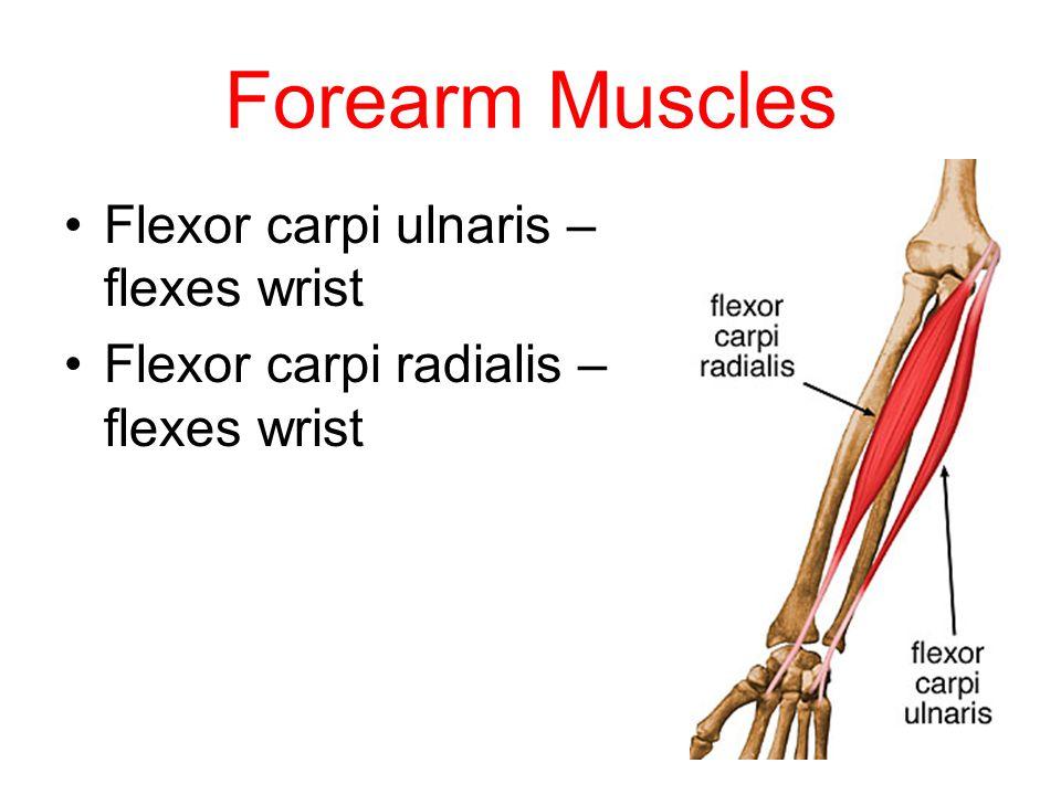 Forearm Muscles Flexor carpi ulnaris – flexes wrist Flexor carpi radialis – flexes wrist