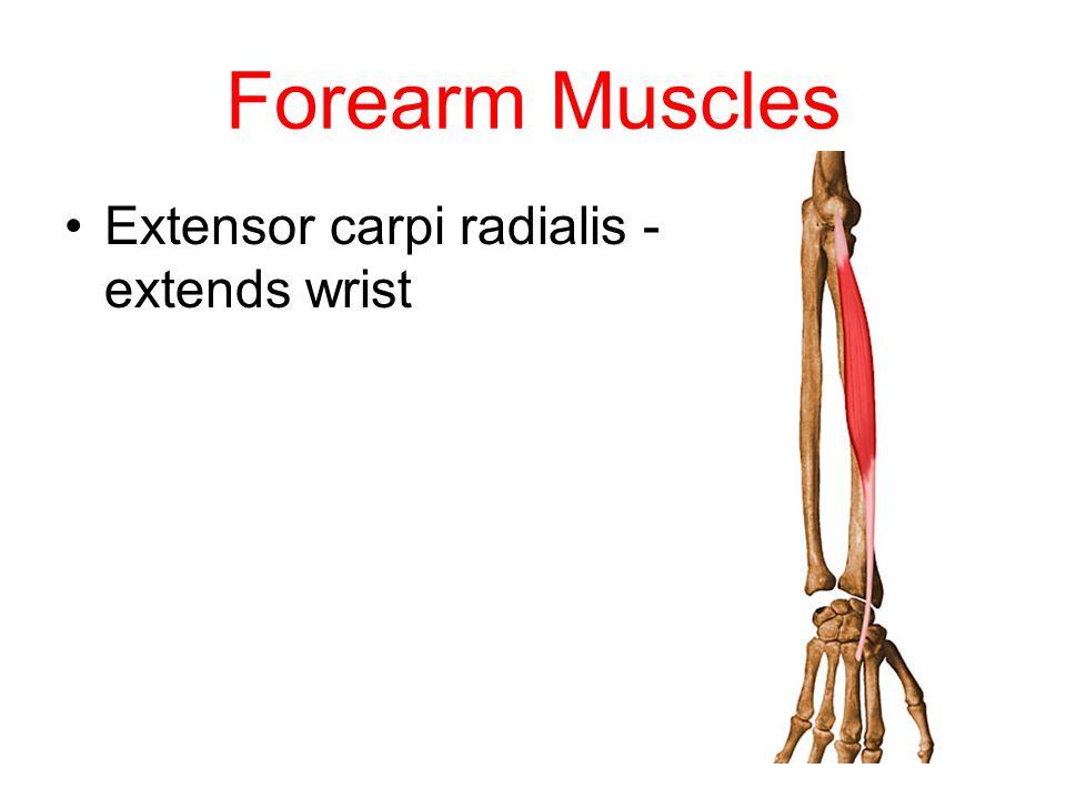 Forearm Muscles Extensor carpi radialis - extends wrist