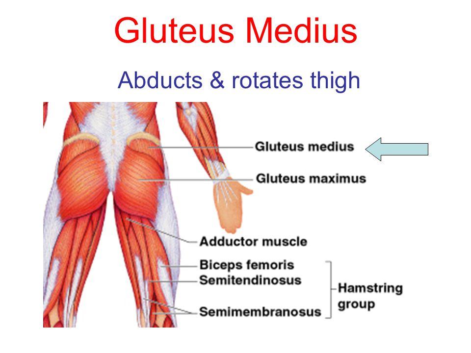 Gluteus Medius Abducts & rotates thigh