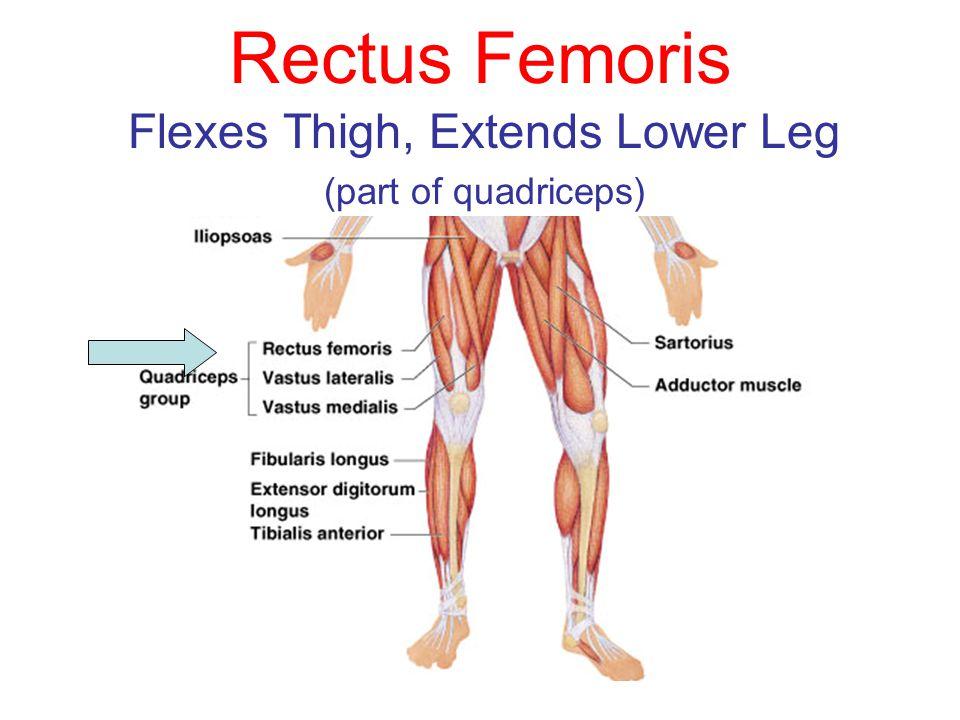 Rectus Femoris Flexes Thigh, Extends Lower Leg (part of quadriceps)