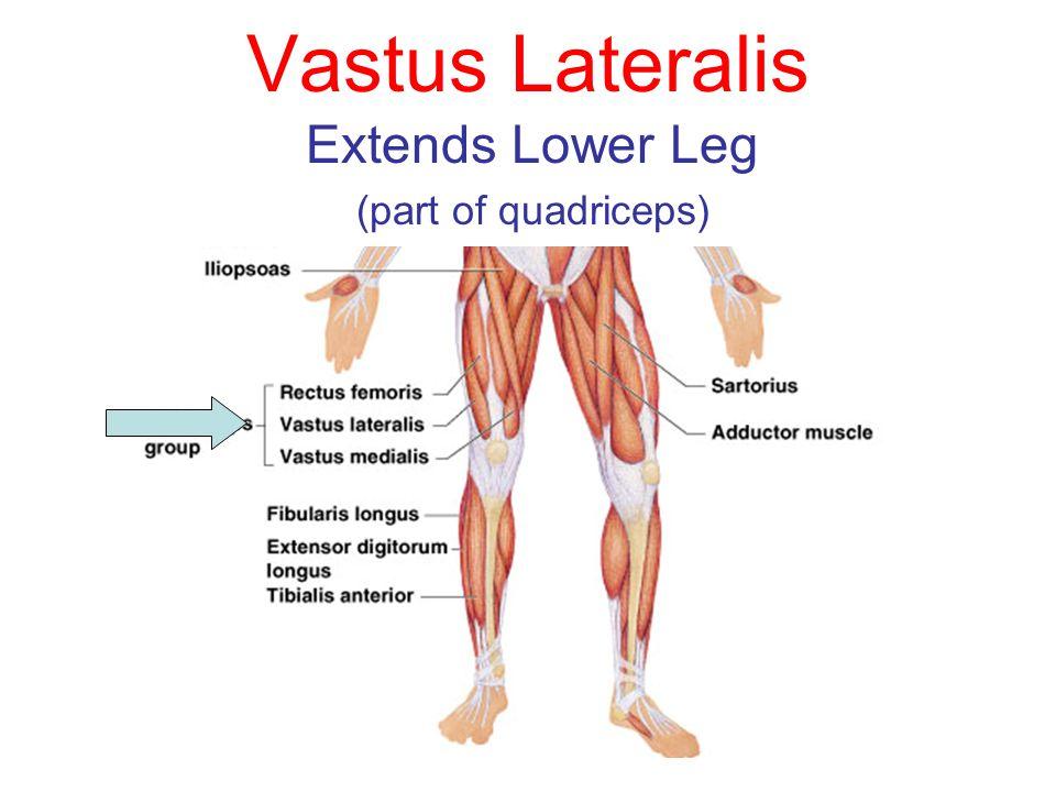 Vastus Lateralis Extends Lower Leg (part of quadriceps)