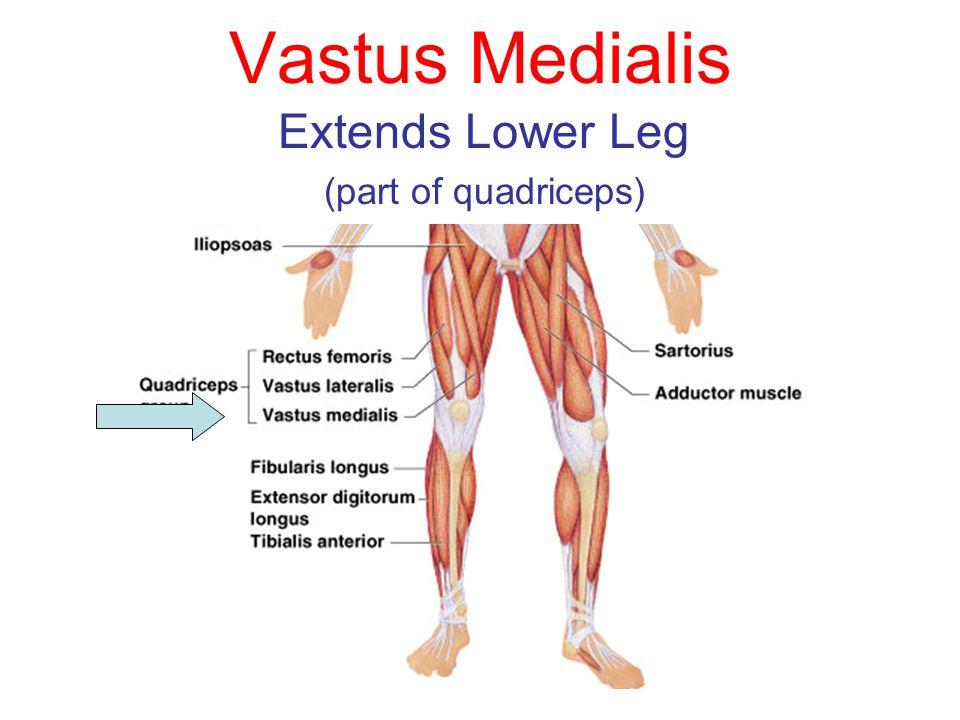 Vastus Medialis Extends Lower Leg (part of quadriceps)