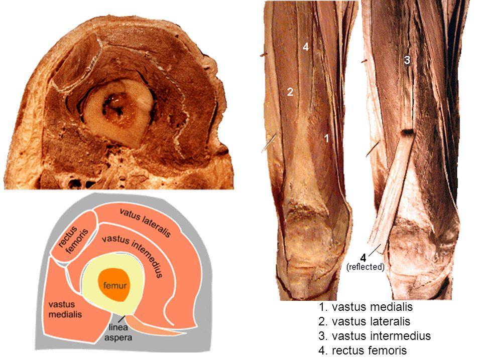 1. vastus medialis 2. vastus lateralis 3. vastus intermedius 4. rectus femoris