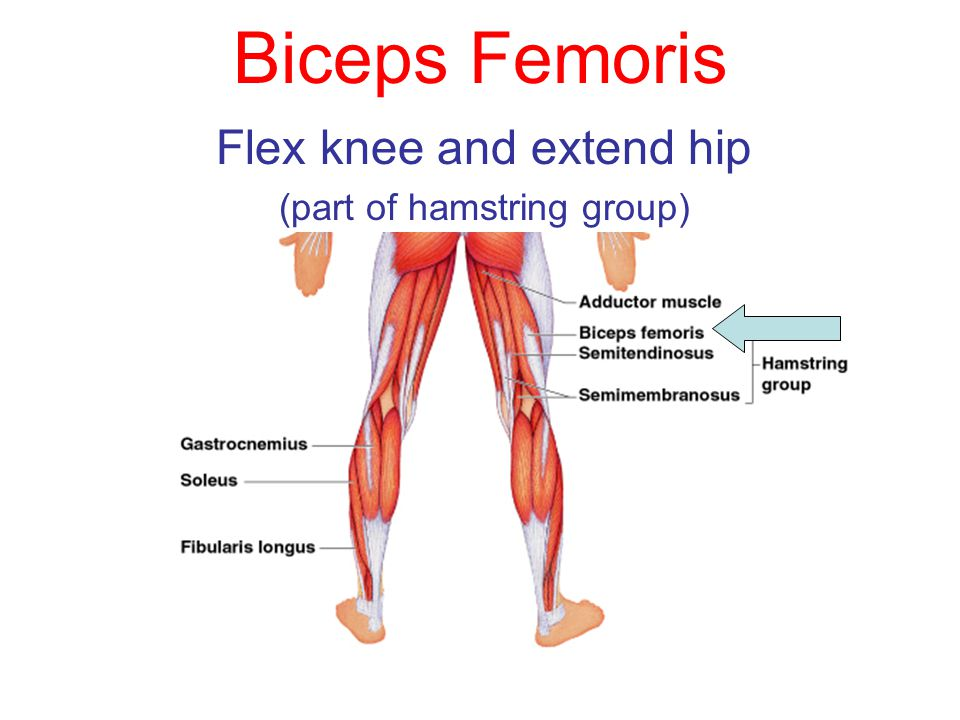 Biceps Femoris Flex knee and extend hip (part of hamstring group)