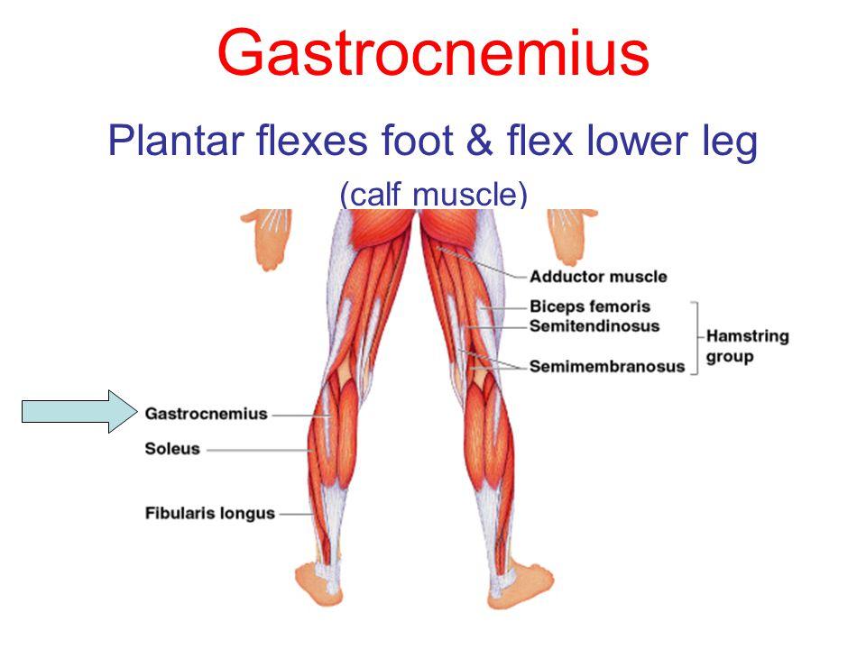 Gastrocnemius Plantar flexes foot & flex lower leg (calf muscle)
