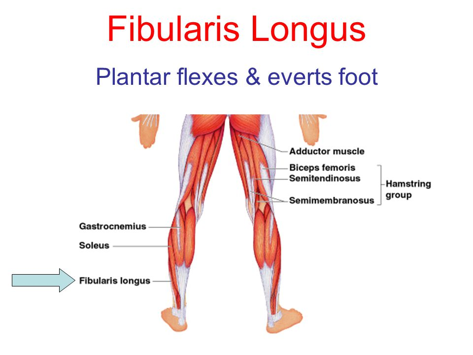 Fibularis Longus Plantar flexes & everts foot