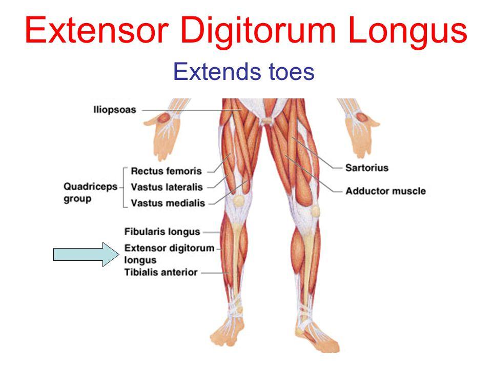 Extensor Digitorum Longus Extends toes