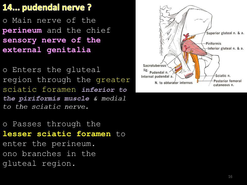 16. perineum sensory nerve of the external genitalia o Main nerve of the perineum and the chief sensory nerve of the external genitalia inferior to th