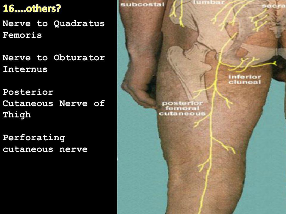 18. Nerve to Quadratus Femoris Nerve to Obturator Internus Posterior Cutaneous Nerve of Thigh Perforating cutaneous nerve
