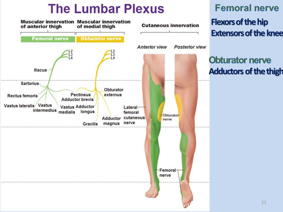23 Flexors of the hip Extensors of the knee