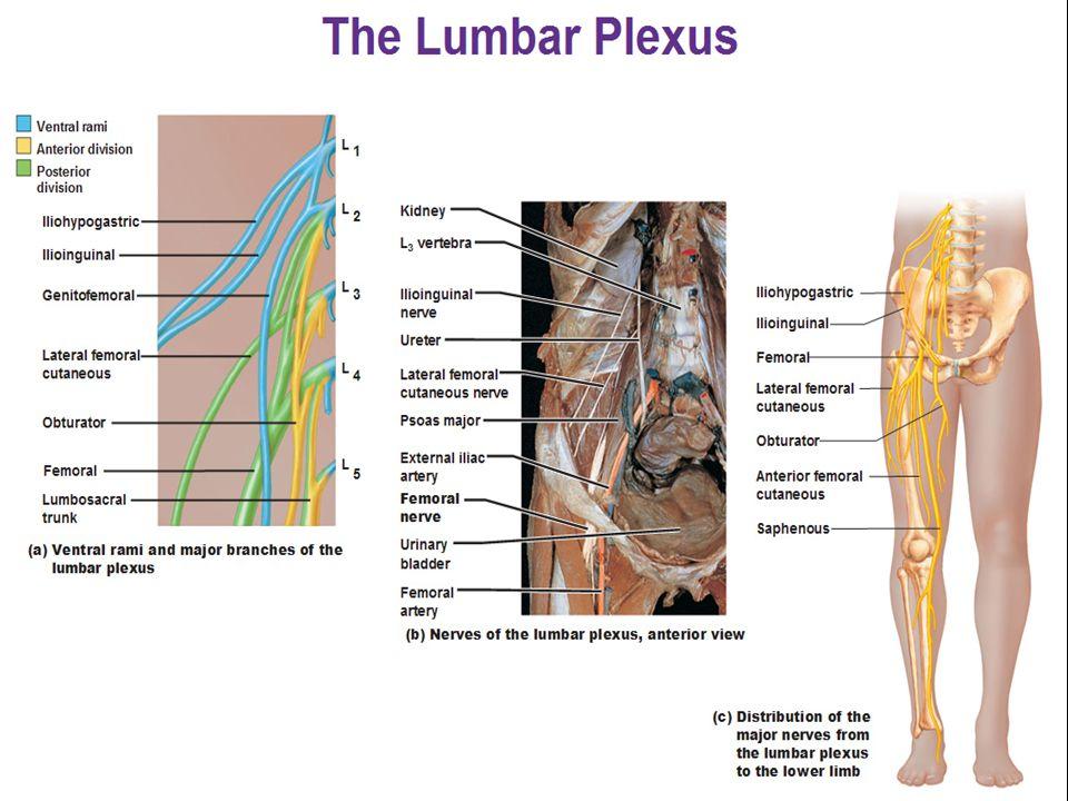 4. iliohypogastric and ilioinguinal nerves L1 gives rise to the iliohypogastric and ilioinguinal nerves genitofemoral nerve L1 + L2 gives rise to the