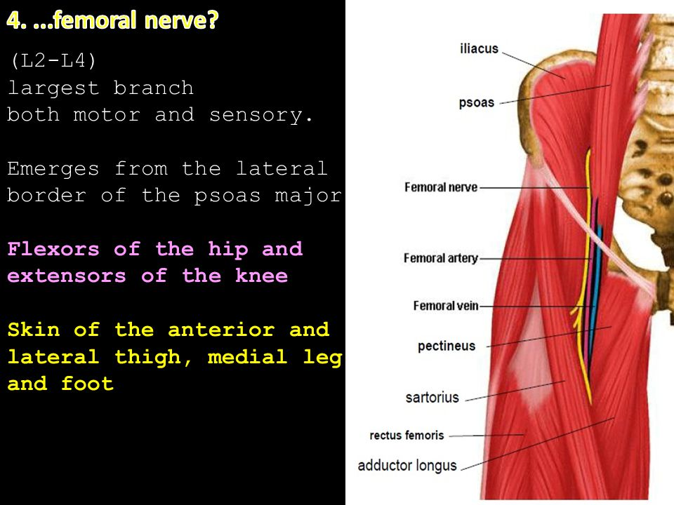 5. (L2-L4) largest branch both motor and sensory. Emerges from the lateral border of the psoas major Flexors of the hip and extensors of the knee Skin