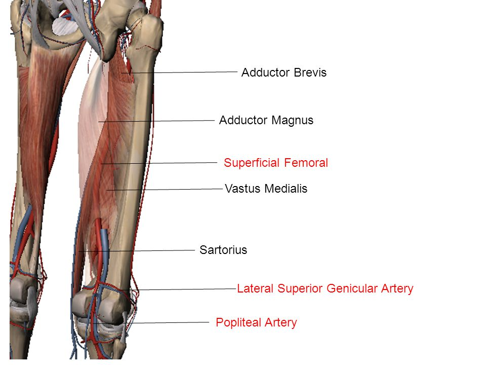 Adductor Brevis Adductor Magnus Superficial Femoral Sartorius Vastus Medialis Popliteal Artery Lateral Superior Genicular Artery
