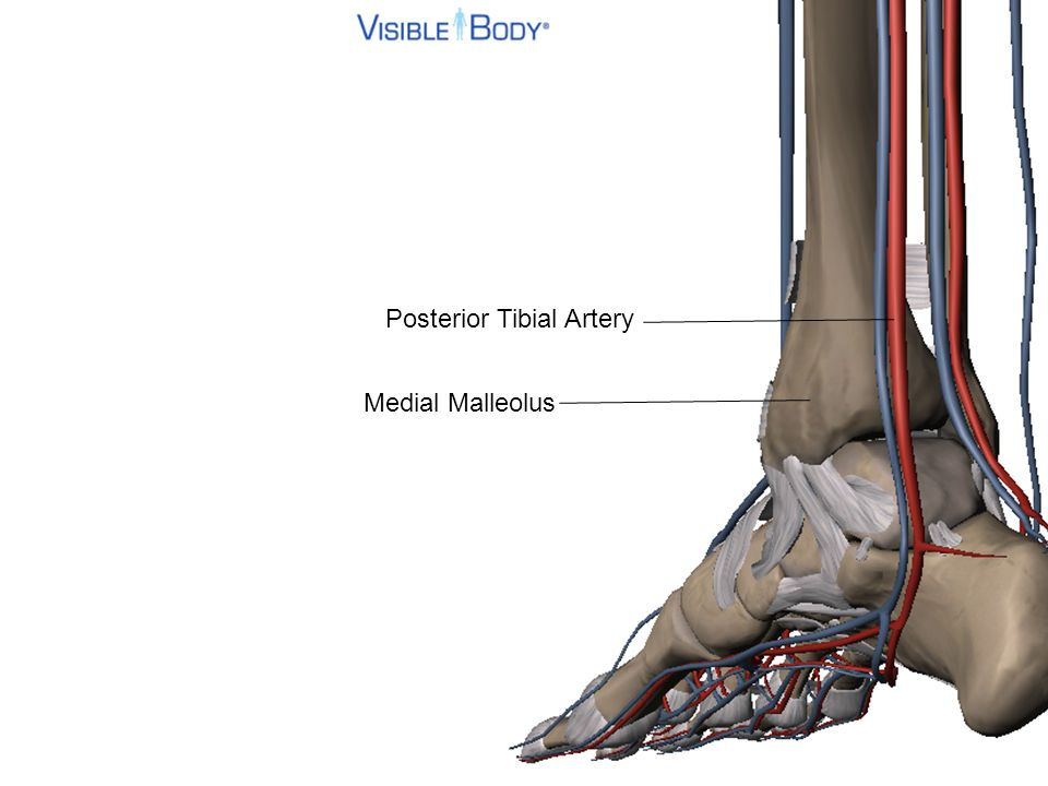 Posterior Tibial Artery Medial Malleolus