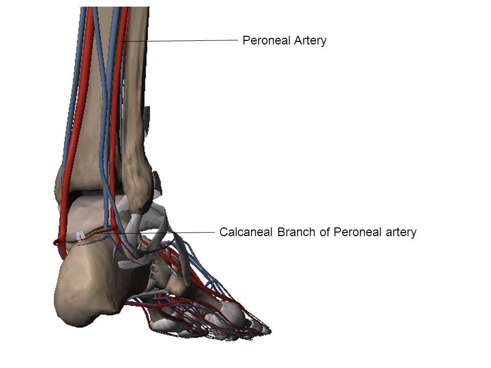 Peroneal Artery Calcaneal Branch of Peroneal artery