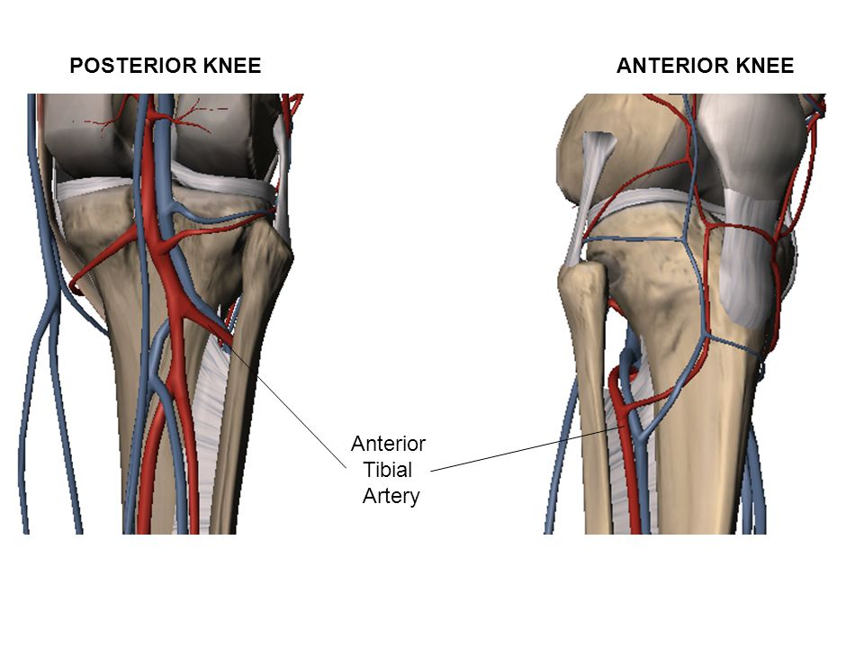 Anterior Tibial Artery POSTERIOR KNEE ANTERIOR KNEE