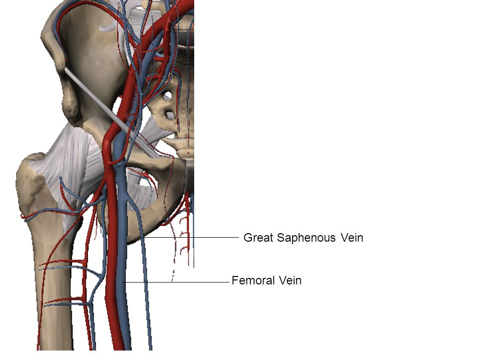 Great Saphenous Vein Femoral Vein