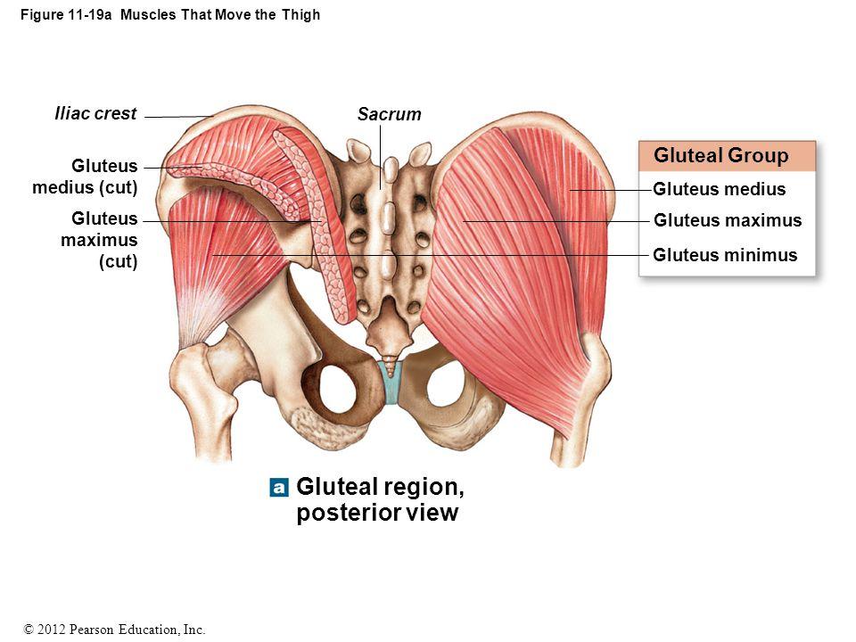© 2012 Pearson Education, Inc. Figure 11-19a Muscles That Move the Thigh Sacrum Iliac crest Gluteus medius (cut) Gluteus maximus (cut) Gluteal region,