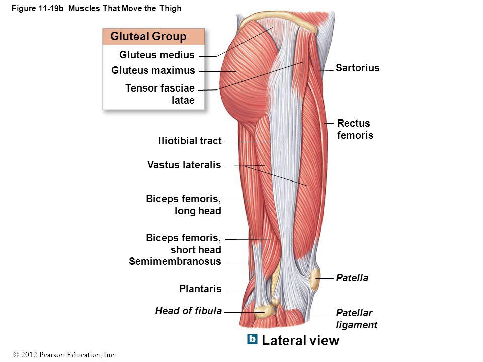 © 2012 Pearson Education, Inc. Figure 11-19b Muscles That Move the Thigh Gluteal Group Gluteus medius Gluteus maximus Tensor fasciae latae Iliotibial
