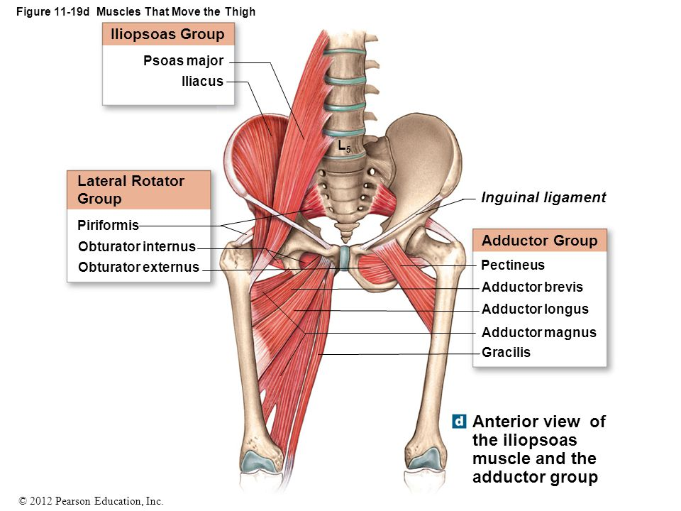 © 2012 Pearson Education, Inc. Figure 11-19d Muscles That Move the Thigh Inguinal ligament Adductor Group Pectineus Adductor brevis Adductor longus Ad