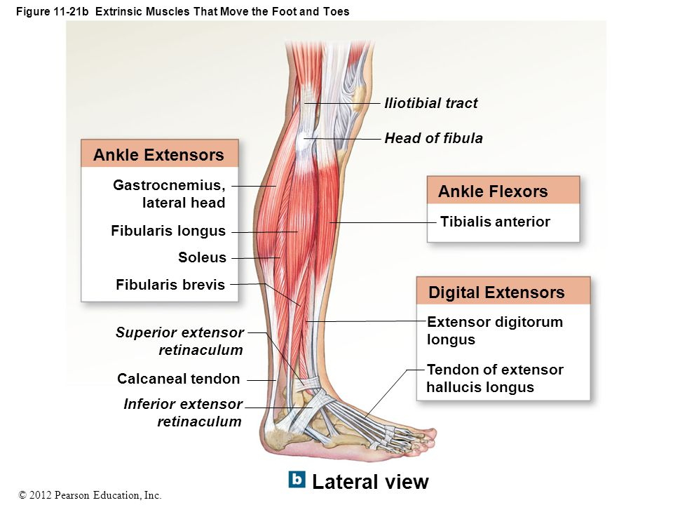 © 2012 Pearson Education, Inc. Figure 11-21b Extrinsic Muscles That Move the Foot and Toes Ankle Extensors Gastrocnemius, lateral head Fibularis longu