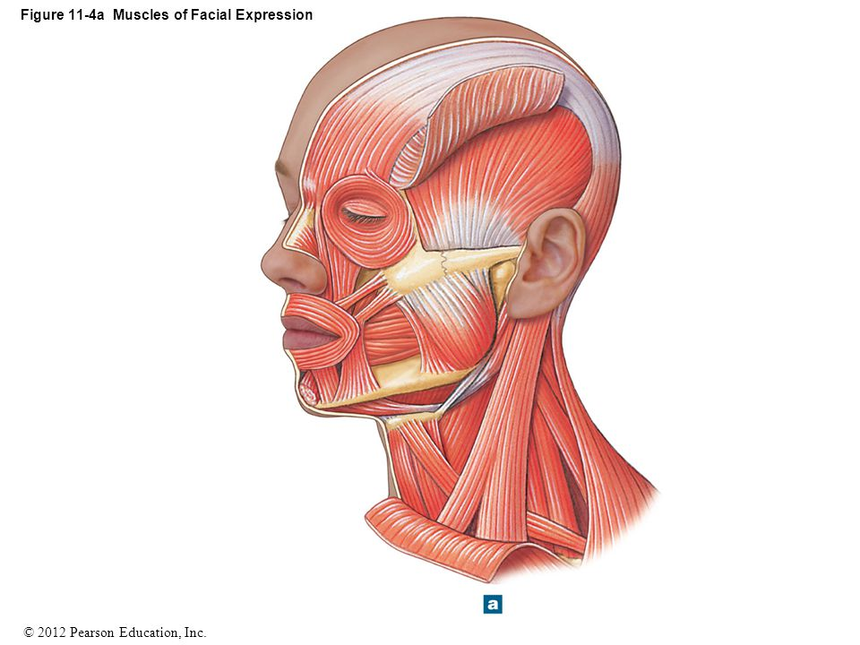 © 2012 Pearson Education, Inc. Figure 11-4a Muscles of Facial Expression