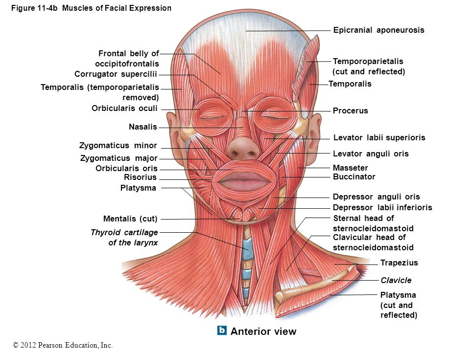 © 2012 Pearson Education, Inc. Figure 11-4b Muscles of Facial Expression Frontal belly of occipitofrontalis Corrugator supercilii Temporalis (temporop
