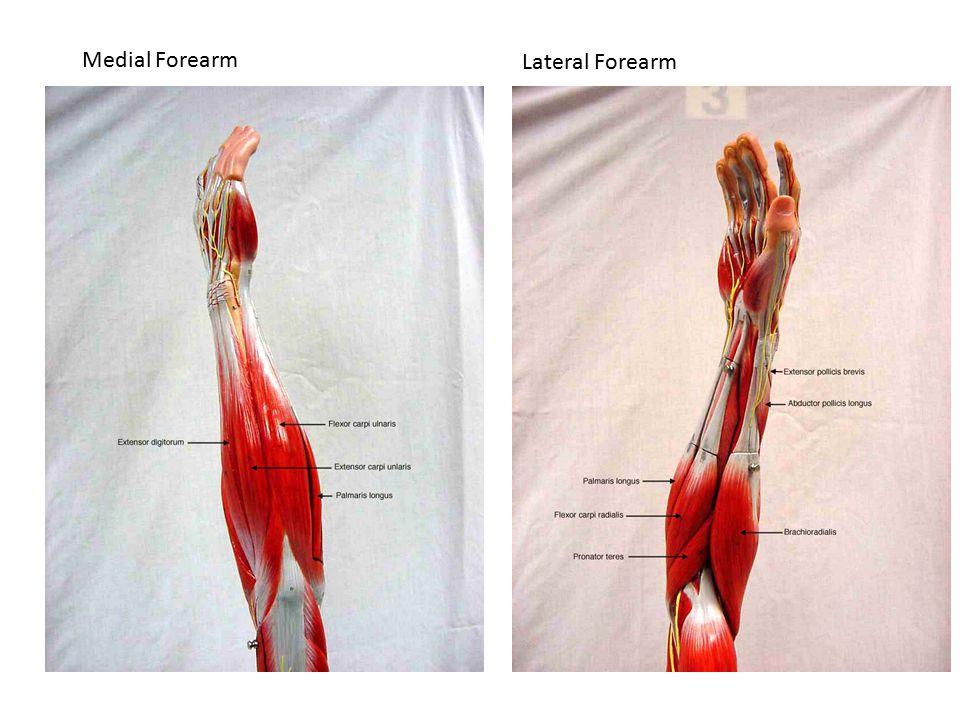 Medial Forearm Lateral Forearm