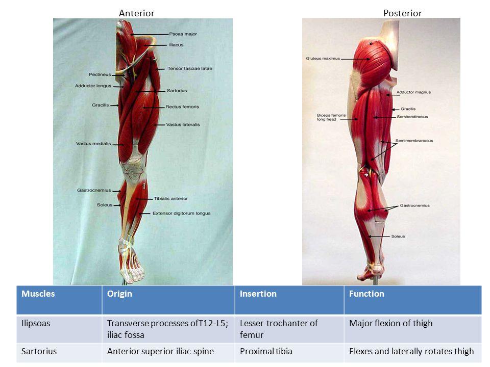 AnteriorPosterior MusclesOriginInsertionFunction IlipsoasTransverse processes ofT12-L5; iliac fossa Lesser trochanter of femur Major flexion of thigh SartoriusAnterior superior iliac spineProximal tibiaFlexes and laterally rotates thigh