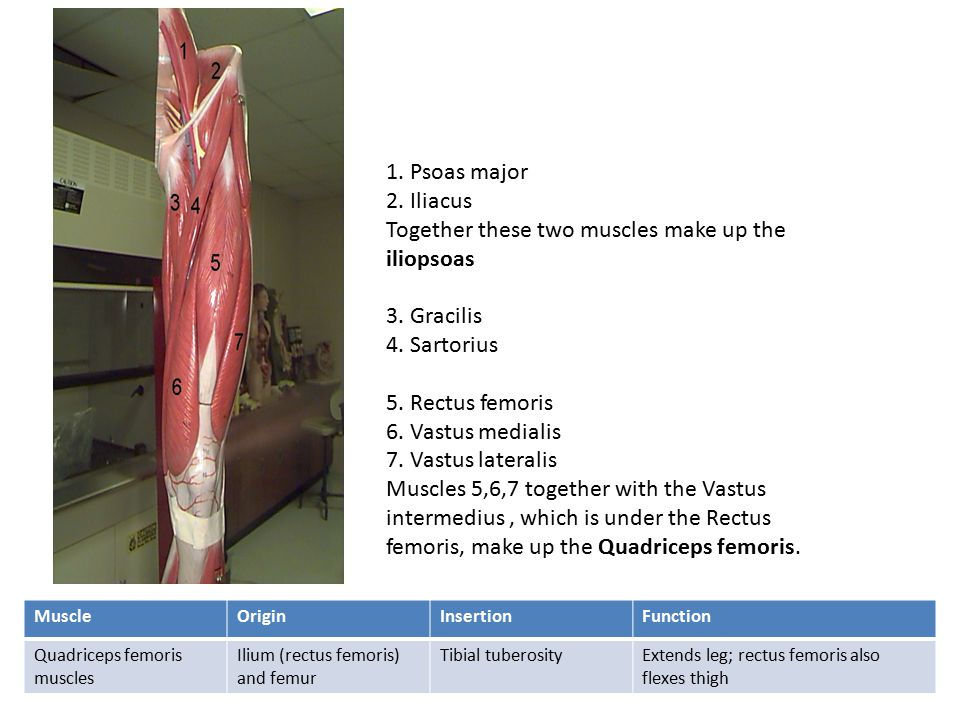 1.Psoas major 2. Iliacus Together these two muscles make up the iliopsoas 3.