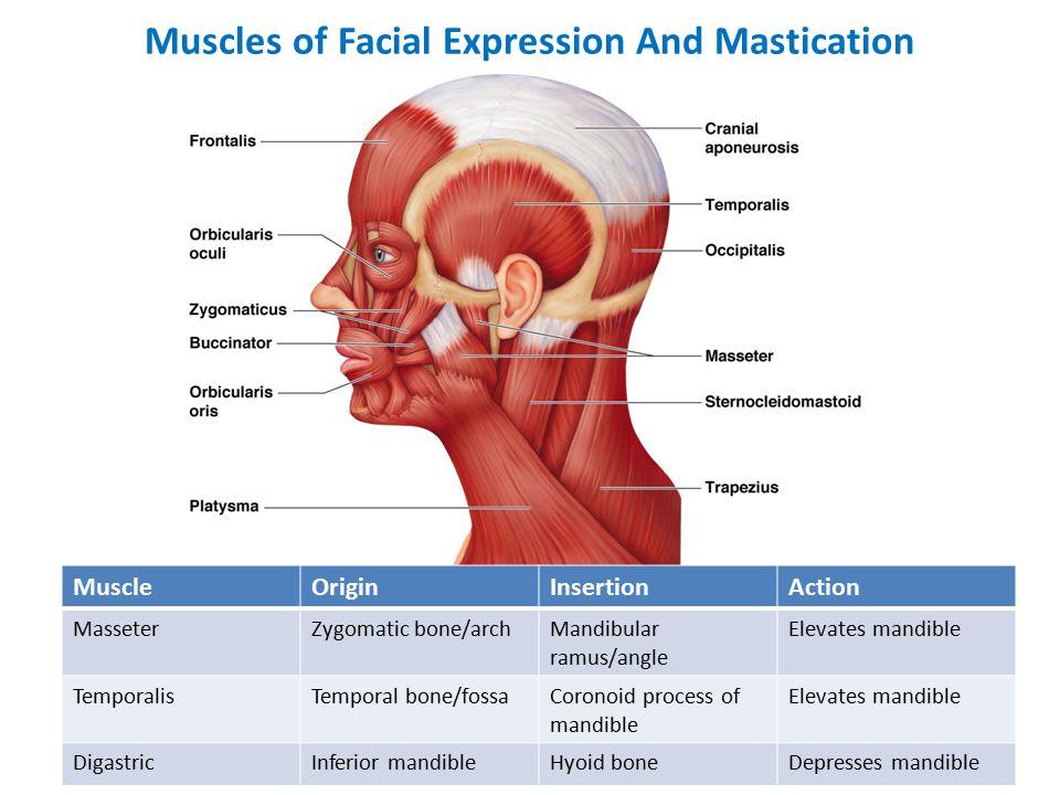 Muscles of Facial Expression And Mastication MuscleOriginInsertionAction MasseterZygomatic bone/archMandibular ramus/angle Elevates mandible TemporalisTemporal bone/fossaCoronoid process of mandible Elevates mandible DigastricInferior mandibleHyoid boneDepresses mandible