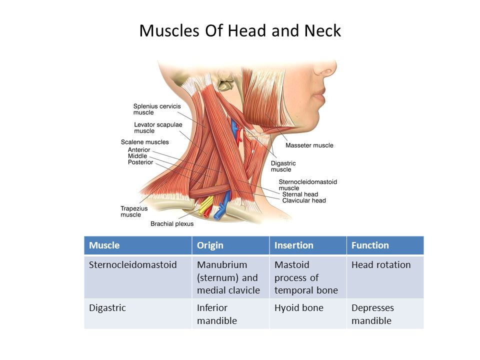 Muscles Of Head and Neck MuscleOriginInsertionFunction SternocleidomastoidManubrium (sternum) and medial clavicle Mastoid process of temporal bone Head rotation DigastricInferior mandible Hyoid boneDepresses mandible