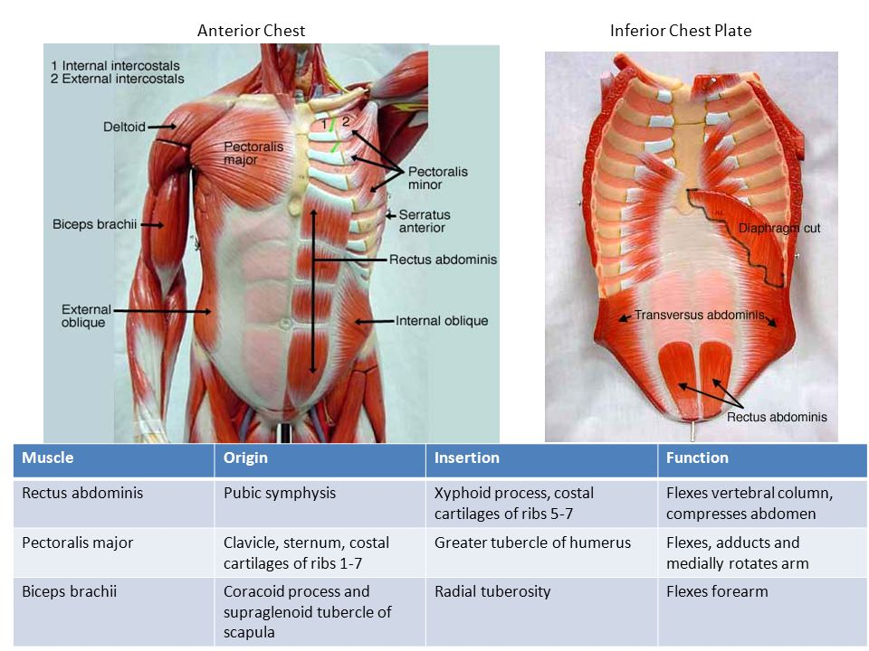 Anterior ChestInferior Chest Plate MuscleOriginInsertionFunction Rectus abdominisPubic symphysisXyphoid process, costal cartilages of ribs 5-7 Flexes vertebral column, compresses abdomen Pectoralis majorClavicle, sternum, costal cartilages of ribs 1-7 Greater tubercle of humerusFlexes, adducts and medially rotates arm Biceps brachiiCoracoid process and supraglenoid tubercle of scapula Radial tuberosityFlexes forearm