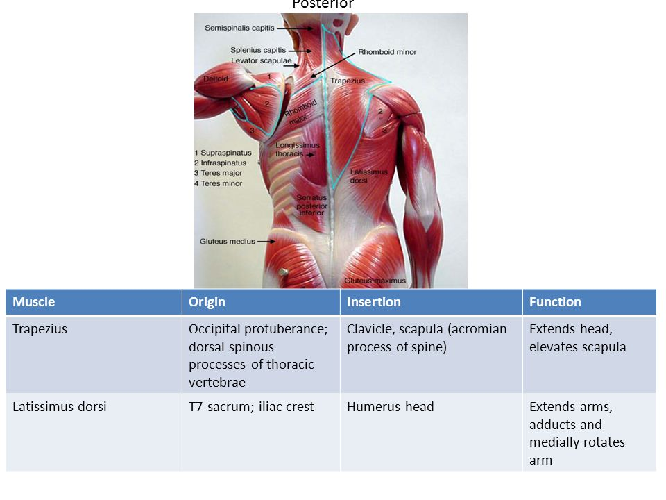 Posterior MuscleOriginInsertionFunction TrapeziusOccipital protuberance; dorsal spinous processes of thoracic vertebrae Clavicle, scapula (acromian process of spine) Extends head, elevates scapula Latissimus dorsiT7-sacrum; iliac crestHumerus headExtends arms, adducts and medially rotates arm