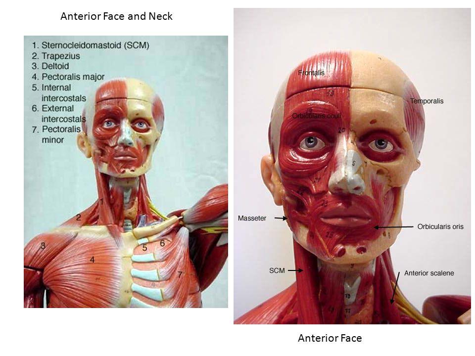 Anterior Face and Neck Anterior Face