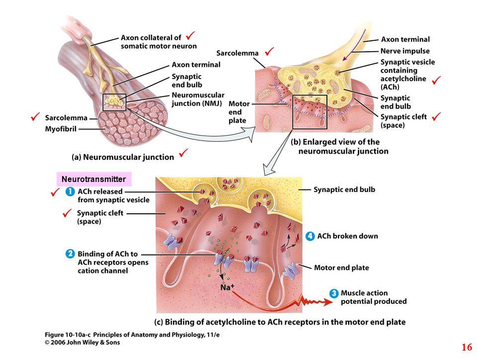         Neurotransmitter 16