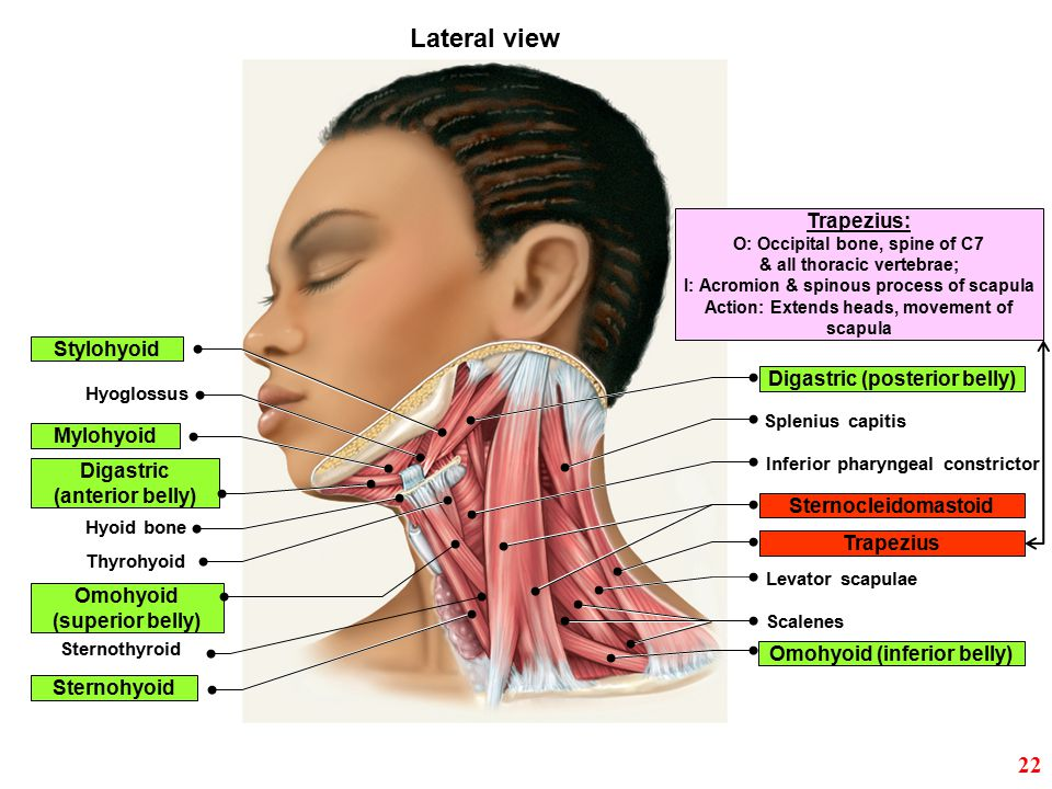 Trapezius Splenius capitis Sternocleidomastoid Levator scapulae Scalenes Omohyoid (inferior belly) Stylohyoid Mylohyoid Hyoglossus Digastric (posterio