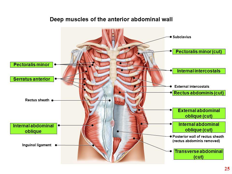 Subclavius Pectoralis minor (cut) Internal intercostals External intercostals Rectus abdominis (cut) External abdominal oblique (cut) Internal abdomin