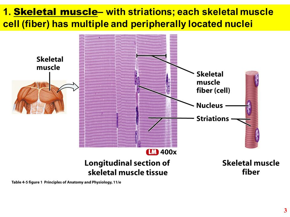 1. Skeletal muscle – with striations; each skeletal muscle cell (fiber) has multiple and peripherally located nuclei 3