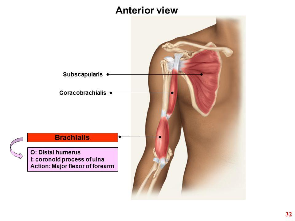 Brachialis Subscapularis Coracobrachialis Anterior view O: Distal humerus I: coronoid process of ulna Action: Major flexor of forearm 32