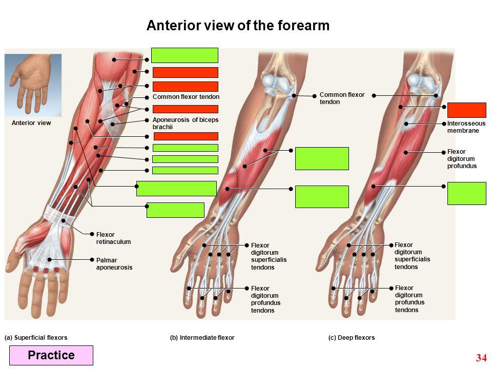 (c) Deep flexors(b) Intermediate flexor(a) Superficial flexors Flexor digitorum profundus Common flexor tendon Aponeurosis of biceps brachii Interosse
