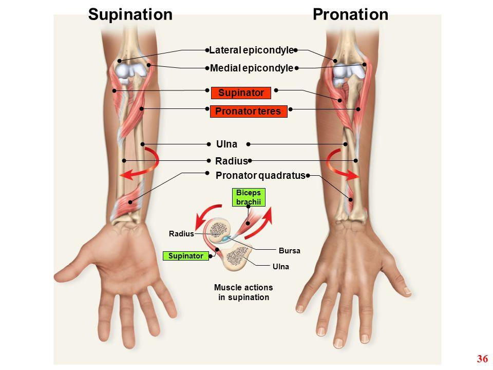 Medial epicondyle Lateral epicondyle Ulna Pronator quadratus Pronator teres Supinator Radius Supination Muscle actions in supination Pronation Ulna Bu