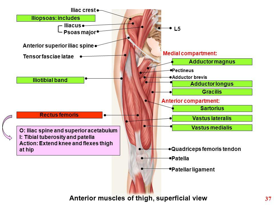 Iliac crest Iliopsoas: includes Iliacus Anterior superior iliac spine Iliotibial band Anterior muscles of thigh, superficial view Sartorius Rectus fem